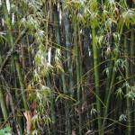 My Bamboo Generation